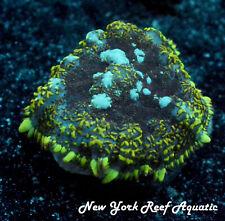 New York Reef Aquatic - 0611 F7 Nyra Planet Earth Rhodactis Wysiwyg Live Coral