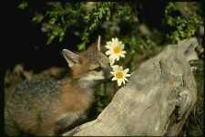 159000 Gray Fox jóvenes Kit sniffingeating Flor A4 Foto Impresión