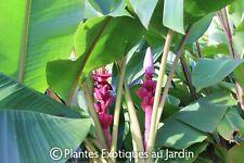 Musa velutina - Bananier à  Bananes roses -1 plant