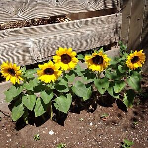 SUNFLOWER Dwarf Sunsation 10 Seeds FLOWER garden SPRING SUMMER border POT GROW