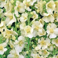Verbascum - Snow Maiden - 50 Seeds