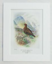 Red Grouse Bird, Nest & Eggs - Mounted Antique Print 1910 Book Plate 34