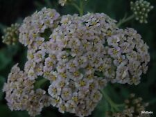 4 *** ROOT DIVISIONS  OF WHITE  YARROW  / LIVE PLANTS