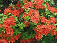 Zwergazalee Geisha orange 15-20cm Rhododendron obtusum Frühlingsblüher