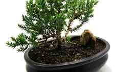 Bonsai Tree Japanese Chinese, Dwarf Bonzai Plant Elm Juniper Great Garden Peace