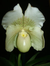 "Orchidee Paphiopedilum  ""Mrs White"" Frauenschuhorchidee  Pflanze / 2153 1-64977"