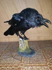 Stuffed European raven Taxidermy wooden stand