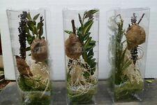 1 Praying Mantis Eggs 6 x 2 x 2 crystal clear Incubator