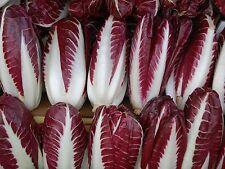 Radicchio- Rossa di Treviso Precoce- (Lettuce) Chicory 500+ 2015 Seeds