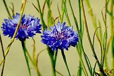 KORNBLUME Blaue Jungs 500 Samen Centaurea Cyanus
