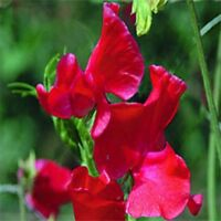 Sweet Pea- Royal Scarlet- (Lathyrus Odoratus)- 15 Seeds -