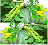 Siberian PEA TREE PEA SHRUB - Caragana arborescens Seeds - FRAGRANT BLOOM BONSAI