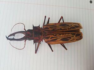MACRODONTIA Cervicornis Large 14.5 cm Beautiful Cerambycidae Peru