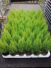 30 x Cupressus Wilma Goldcrest/Golden Evergreen Conifer 8cm Pot