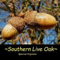 """~Southern Live Oak~ Quercus Virginiana Landscape Shade Tree 12-24+""""in Potd Plant"""