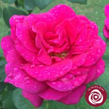 BIG PURPLE   Hybrid Tea Bush Rose   7ltr Potted Rose Plant   Purple & Fragrant