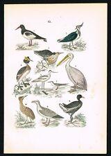 Pelican, Sea Gull, Aquatic Birds, Hand-Colored Antique Print, Martin, 1880