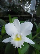 Cattleya Julia 'White', orchid plant