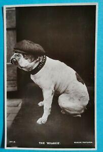 """Vintage BOXER dog, J. Beagles RP postcard titled """"THE BOLSHIE"""" (wearing cap/hat)"""