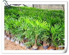 30 Palm Bamboo Seeds Indoor plants Home Garden Tree seeds ship 25-45day