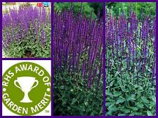 Colourful long flowering border plant Salvia Nemorosa 'Caradonna' AGM 9cm