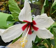 Hibiscus TEXAS WHITE WING red/white flowers live in bloom 3 gal size