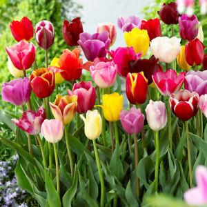 100 x Mixed Triumph Tall Tulips - FREE P&P - Spring Flowering Bulbs