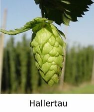 "1x HOPS 4"" pot * HALLERTAU * ( Home brewing perennial plant hop bine vine"