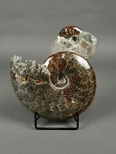 Ammonite, with the mouth worked