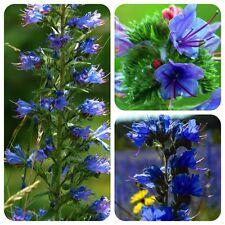 BLAUER natternkopf Echium vulgare interna pianta selvatica per bombi e api
