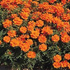 Cosmos- Sulphur Orange- 100 Seeds- BOGO 50% off SALE