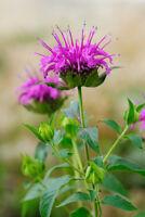 die lila Blüten der Indianernessel passt gut ins Blumenbeet und Kräuterbeet.