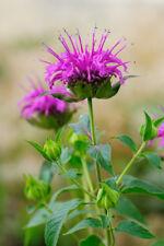 HIT: lila Blüten der Indianernessel passt gut ins Blumenbeet und Kräuterbeet.