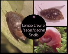 20+ Live Ramshorn and Tadpole (AKA Bladder or Pond) Snails Combo pack.Mixed size