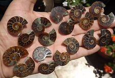 SET similary 18 half cut fossil Ammonites  stone fossile Madagascar