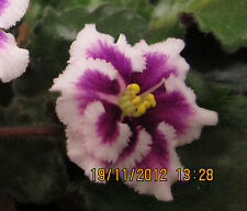 African Violet PLUG PLANT rob's boondoggle  Semimini Usambaraveilchen