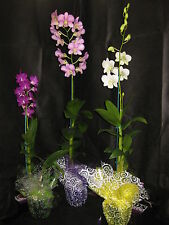 BIN- 3 Blooming/Budded Dendrobium Orchid Plant- Long lasting- A GIFT OF ALOHA!