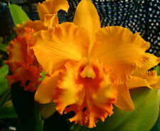 Cattleya (RLC) Spanish Eyes ´Orange Sunrise´ Duft Orchidee Orchideen