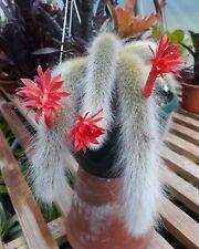 Hildewinteria Colademoninis Monkey tail trailing cactus unrooted 10-12cm cutting
