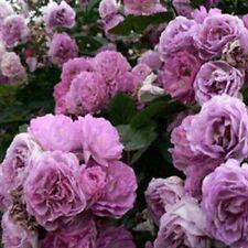 100pcs Climbing Purple Rose Seeds Rosa Multiflora Perennial Flower Garden Decors