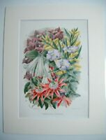 Antique c1880 Chromolithograph Botanical Floral Print ~ GREENHOUSE CLIMBERS