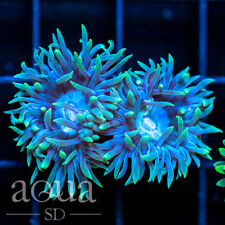 New listing Asd - 075 Frostbite Duncan - Wysiwyg - Aqua Sd Live Coral Frag