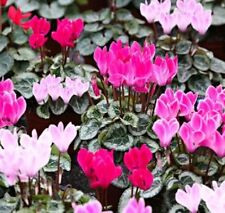 Cyclamen  Royal Maxi Mix - 10 seeds - House Plants