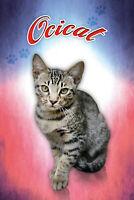 Ocicat Katze Cat Blechschild Schild gewölbt Metal Tin Sign 20 x 30 cm CC0361