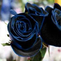 10 Samen / Beutel Midnight Blue Rose Blumensamen, Seltene Gartenpflanze B4Y C4W8