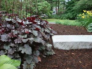 6 x PLUG PLANTS HEUCHERA 'PALACE PURPLE' PERENNIAL PLANT GROUND COVER