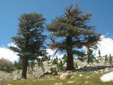 Balfour pine (Pinus balfouriana) 3 seeds
