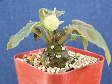 """New listing 2"""" pot Dorstenia foetida exotic bonsai caudex rare succulent plant cactus cacti"""