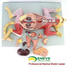 "52cm/21""/3.9kg 10-parts Plastic Cat Anatomical Model/Animal Anatomy model 1:1"