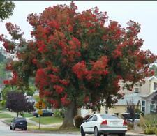 Red Eucalyptus * 25 Seeds * Corymbia Ficifolia * Eucalyptus * Red Flowerin